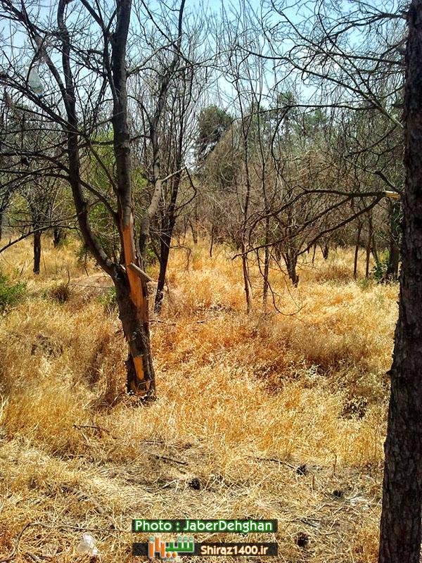 با ادامه بی توجهی ها، خشک شدن باغ دوهکتاری در بلوار زند