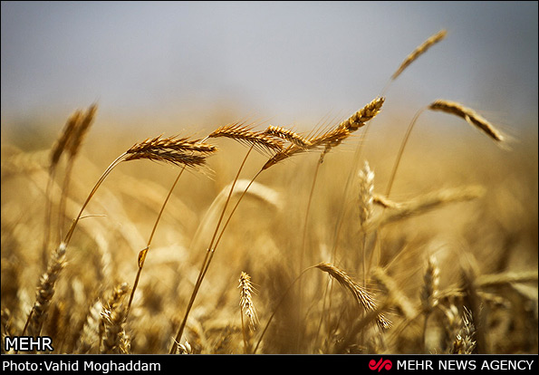 بی آبی فارس، مزد تامین نان کشور