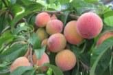 فارس با تولید ۵.۲ میلیون تن محصولات باغی رتبه نخست کشور را کسب کرد