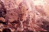 ثبت تصاویری از پلنگ ایرانی و تنوع زیستی در پارک ملی بمو