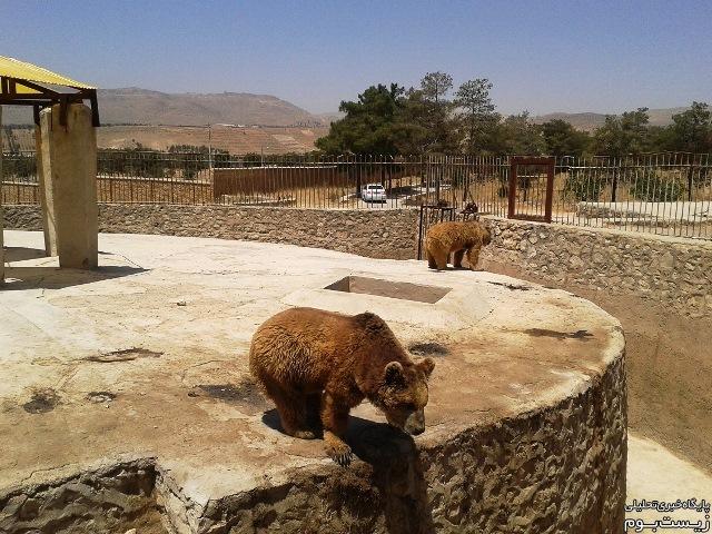 خرس های باغ وحش شیراز