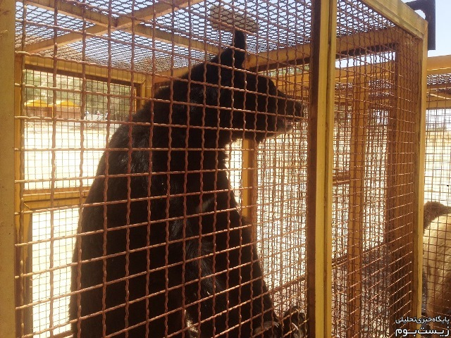 خرس سیاه آسیایی! راستی این حیوان چگونه از طبیعت به این قفس راه پیدا کرده؟!