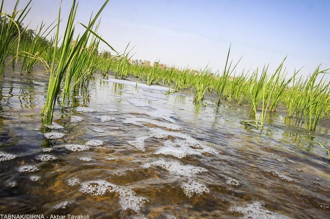 کشت سبزیجات با آب های آلوده به فاضلاب در جنوب شیراز را رد نمی کنیم!