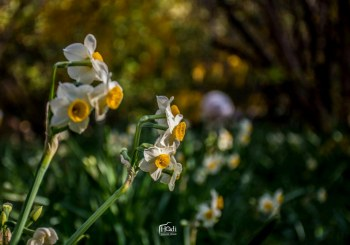 برداشت ۳۰۰ میلیون شاخه گل نرگس در فارس
