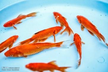 ممنوعیت رهاسازی ماهی قرمز در رودخانه و سدها