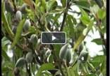 ویدئو: برداشت چغاله بادام نوبرانه در خفر
