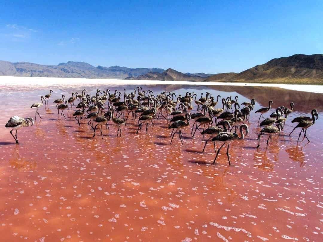 روزگار فلامینگوها در دریاچه بختگان فارس نسبتا خوب است
