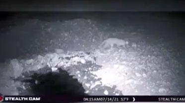 ویدئو: ثبت تصویر گربه وحشی در زیستگاه میان کتل شهرستان کازرون